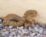 A Lethal Mojave Rattlesnake Against a Stucco Wall