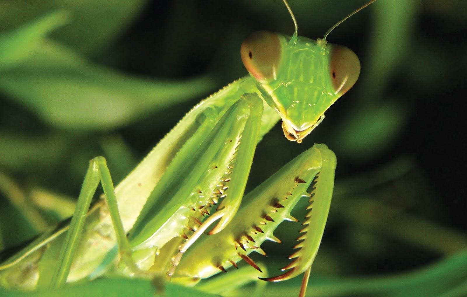 Mantis_Mantis