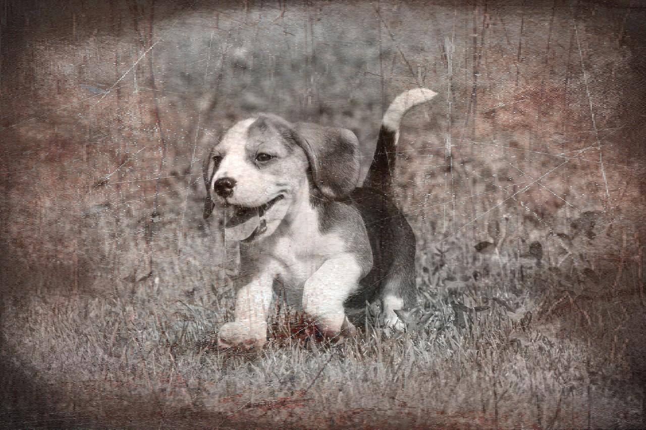New Vintage Image beagle